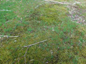 芝生を覆う苔