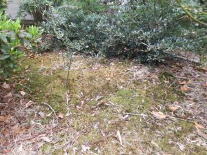 苔 除草剤散布1週間