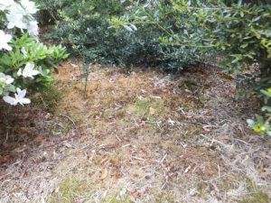 苔 除草剤散布2週間
